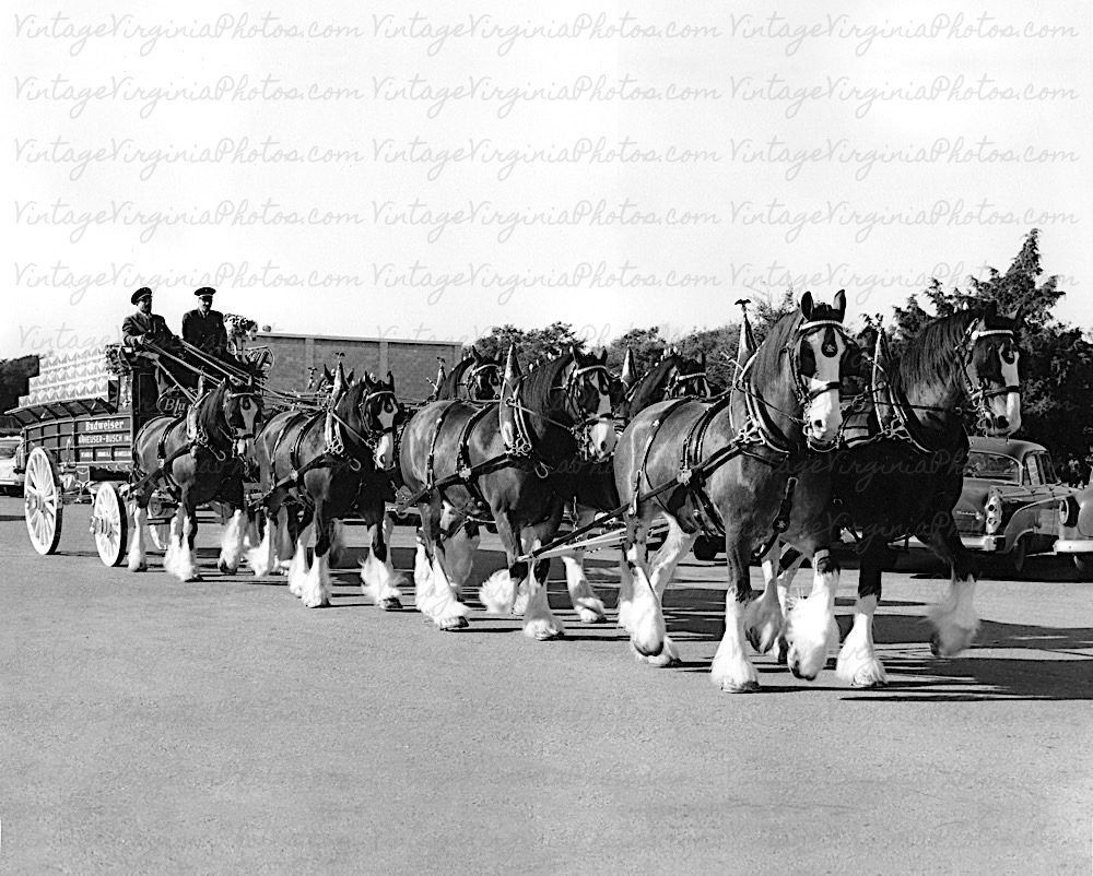 bw-no0049-clydesdales-horses-beer